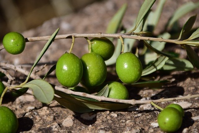 Green Green Olives Nature Mediterranean